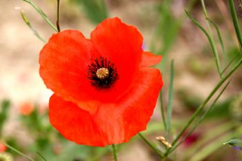 Orange Rot Mohn